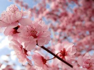 chery blossoms